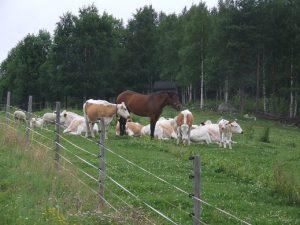 Valokuva jossa lehmiä ja hevonen